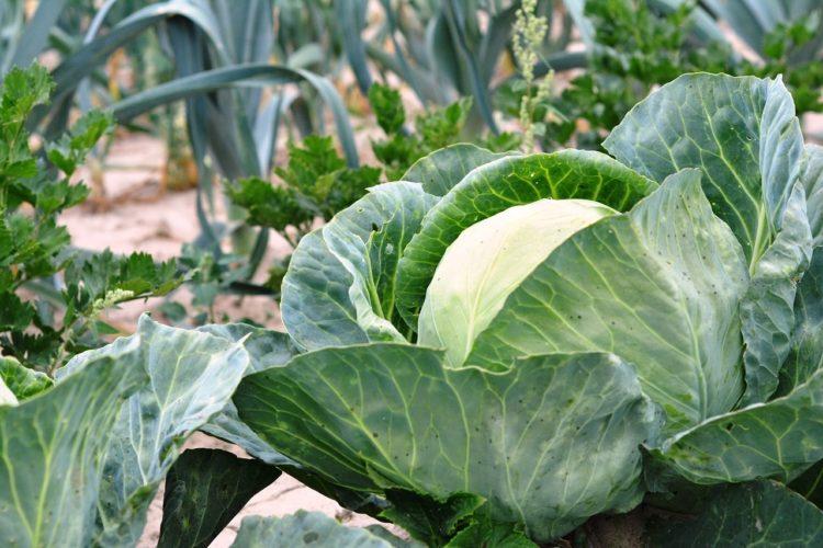 Фото анализ рынка капусты