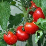 Фото рынок помидоров в России