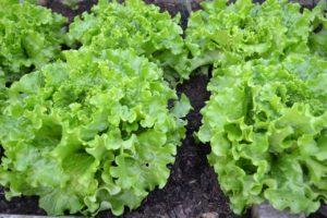 Фото российский рынок салата-латука