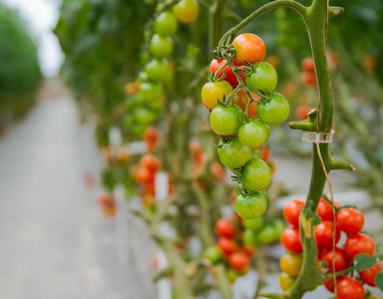 Фото анализ рынка томатов закрытого грунта