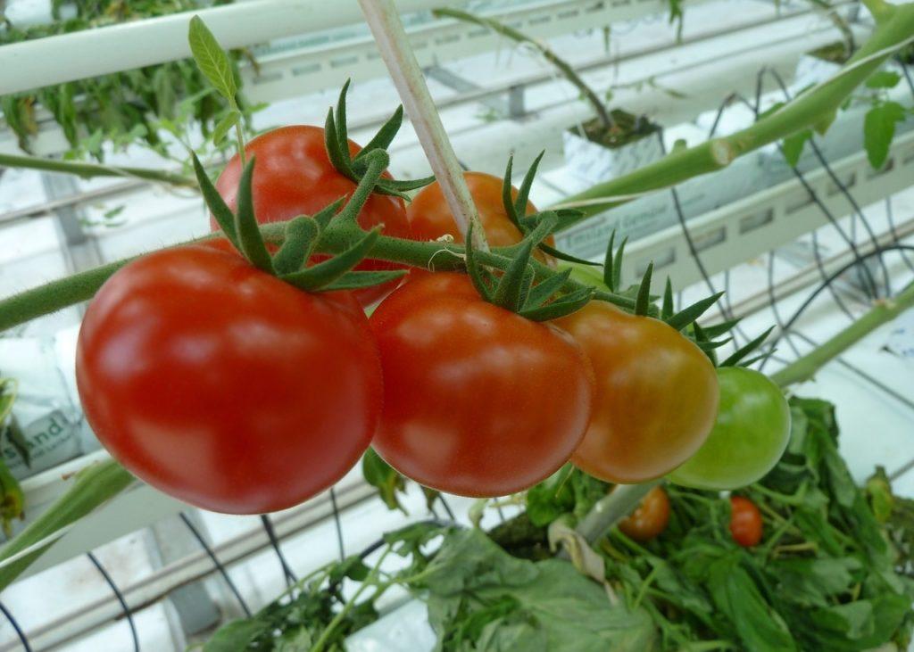 Фото рынок тепличных помидоров