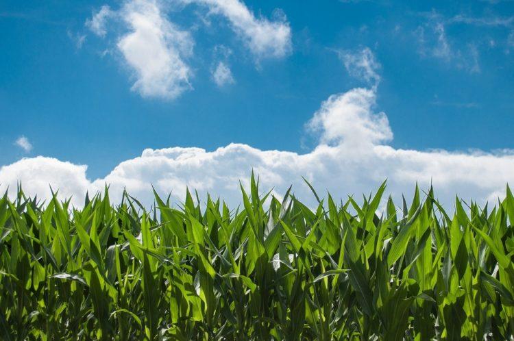 Фото российский рынок кукурузной крупы