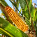 Фото анализ рынка кукурузы